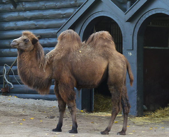 camel in zoo standing in front of house