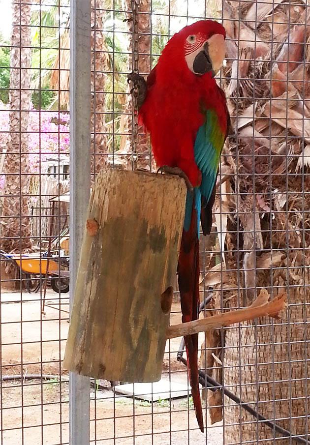 Red parrot on Funte Ventura