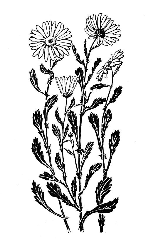 Ox-eye daisy drawing