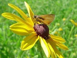 Delaware-Skipper butterfly