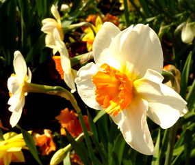 Spring clipart narcissus