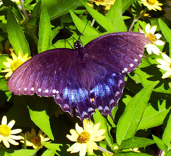 black and blue butterfly on yellow flowers