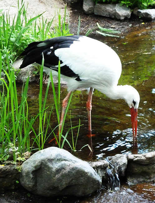 white and black stork in zoo