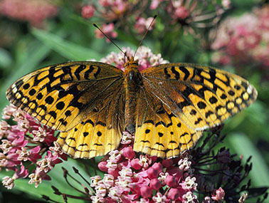 Boloria-frigga butterfly pictures