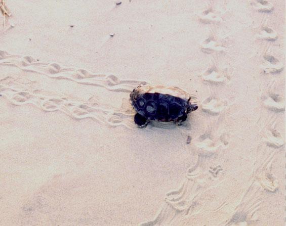 Terrapin making tracks in sand