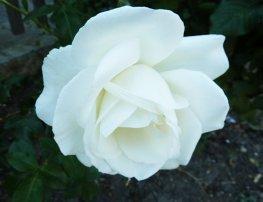 white white rose