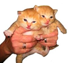 red-kittens-held-in-hand