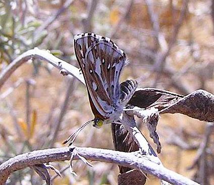 Metalmark-butterfly-Apodemia