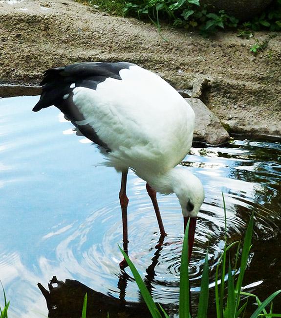 stork-drinking-water