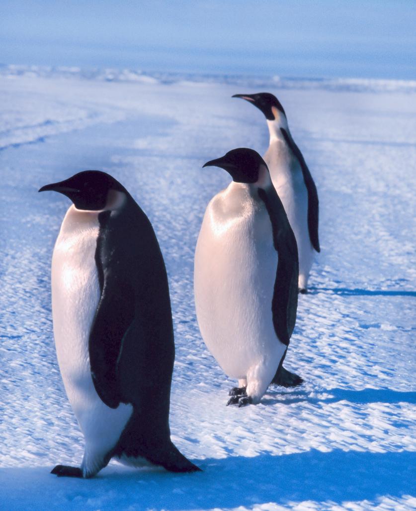 three emperor penguins