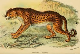 hunting leopard same as cheetah