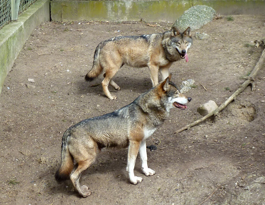 Wolves in zoo