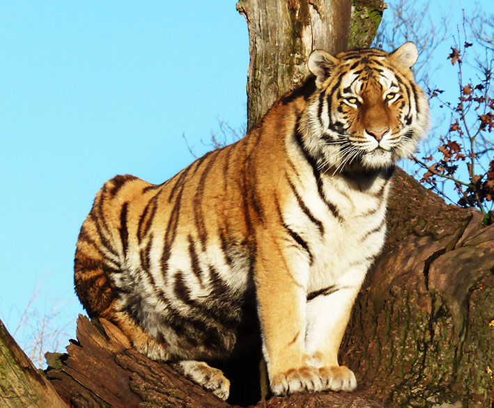 photo of amurtiger in zoo