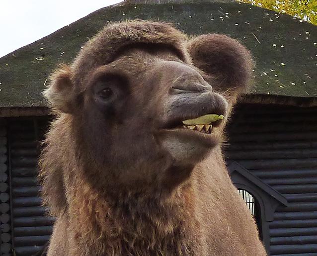 zoo camel eating green leaf