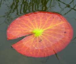Leaf from Waterlily water