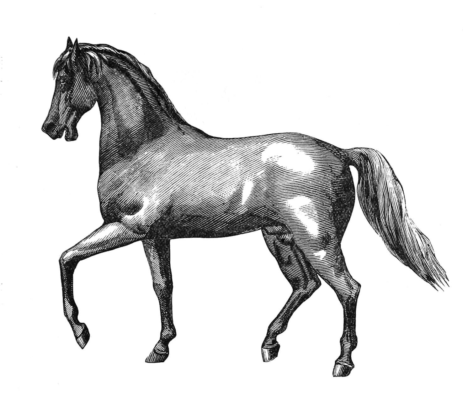 beautiful old horse drawing