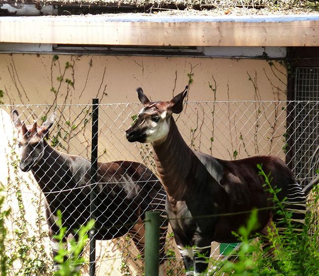 Okapis in zoo