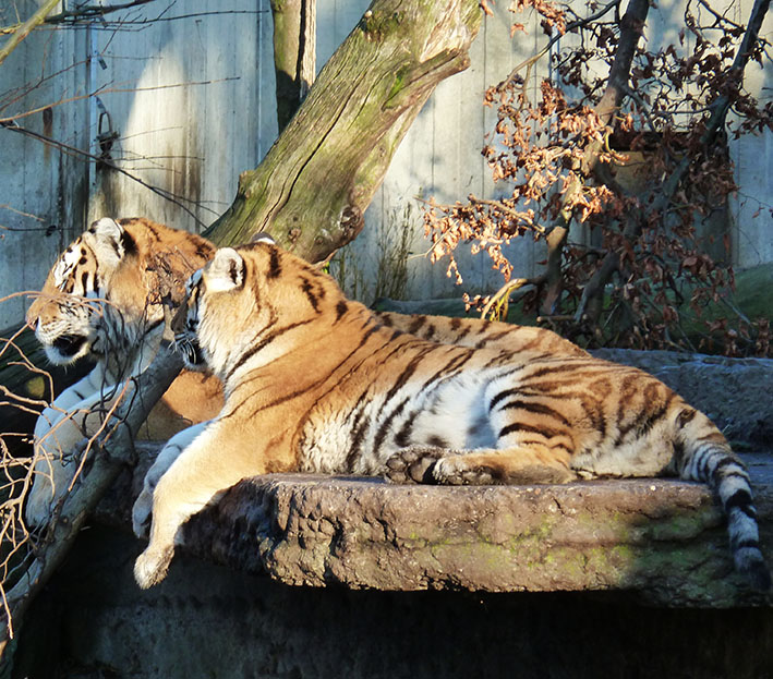 tiger picture two tigers resting
