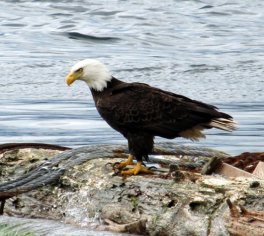 american bald eagle on log in water