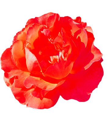 head of red rose for Valentine's Day