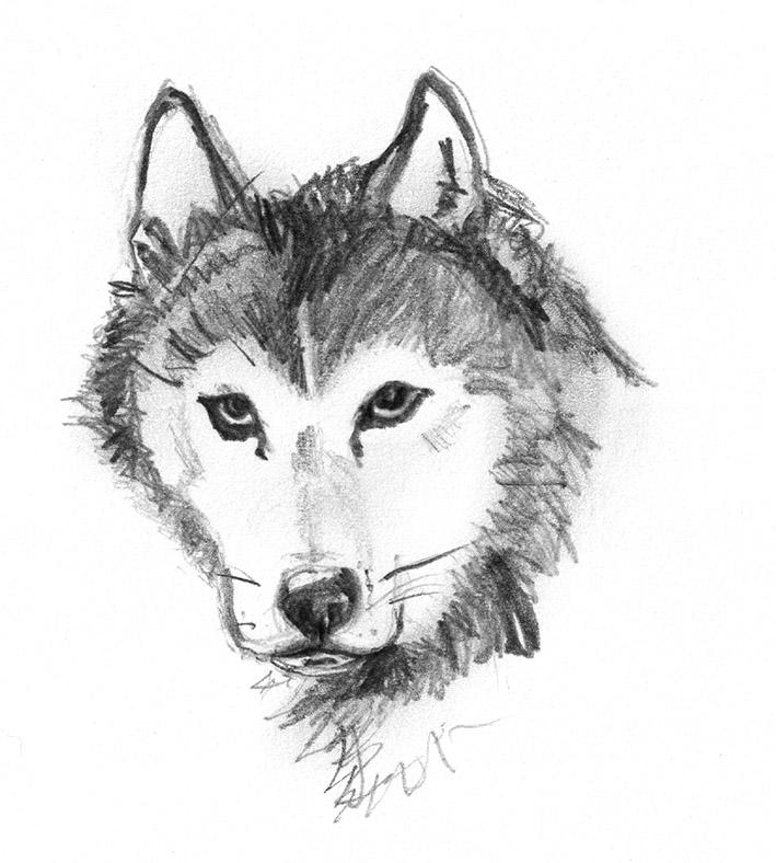 dog sketches of Husky