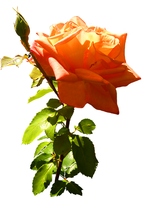 orange rose clip art with leaves and stem
