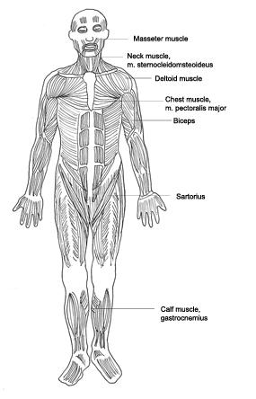 medical clip art muscles diagram designation