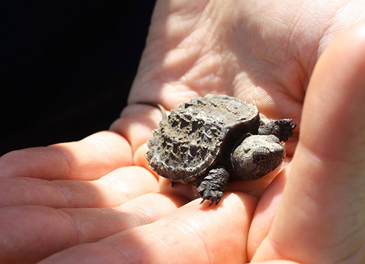 Young Snapping turtle in hand