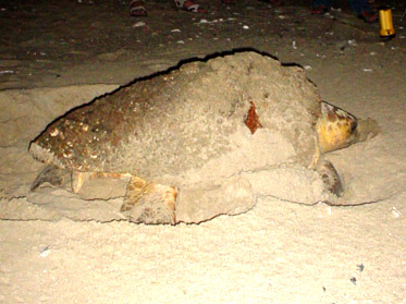 loggerhead female building nest at night