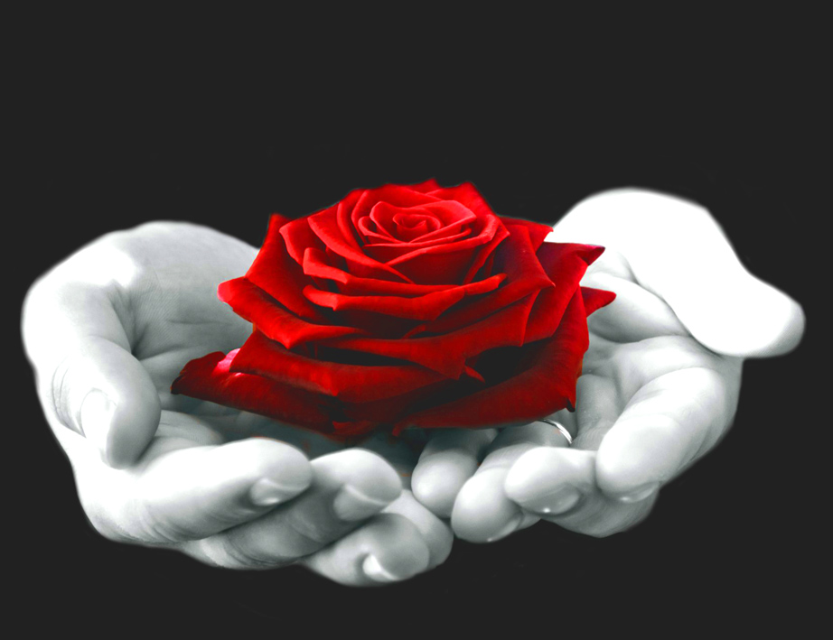 red flowers for Valentine in hands