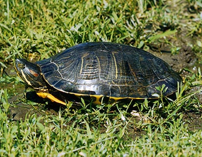 turtle-pictures-painted-turtle-in-grass