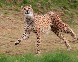 Gepard runnning for meat