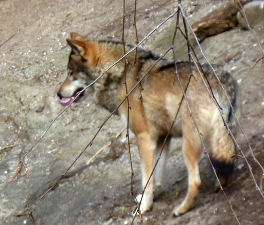 Picture of wolf in zoo
