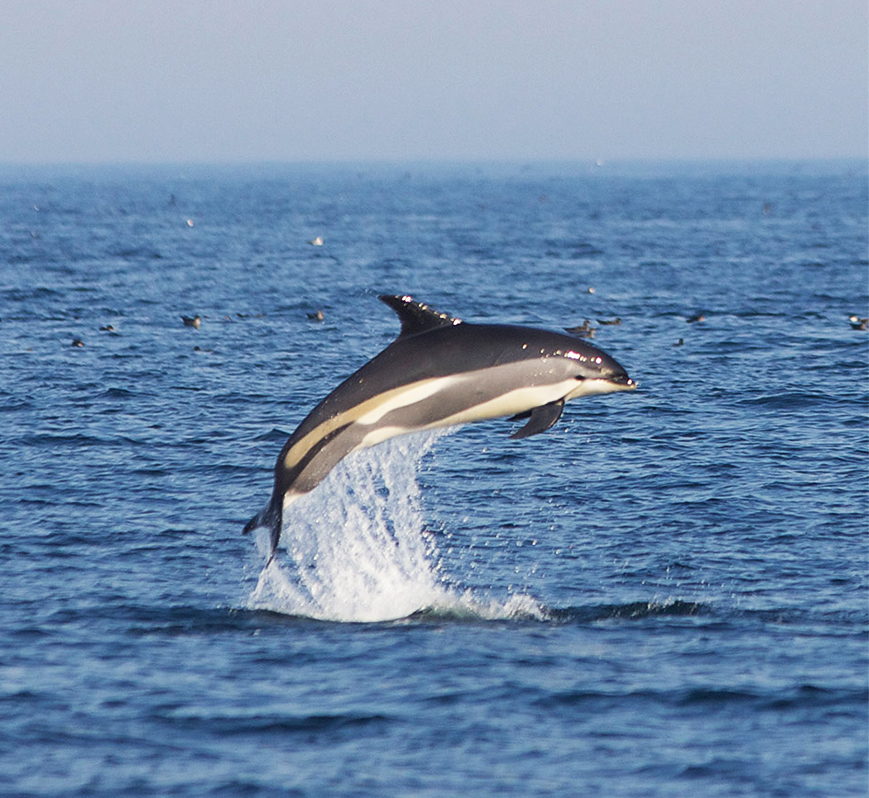 white sided dolphin photo