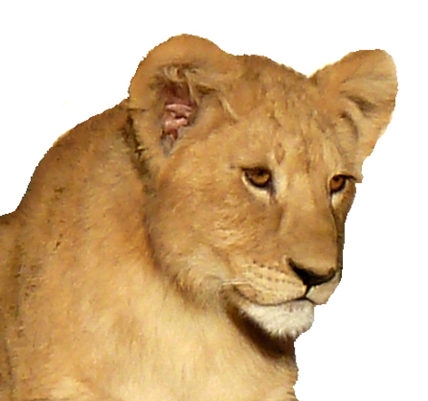 lion pictures head of big cub