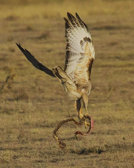 Pictures of large birds - Red tailed hawk wallpaper ...