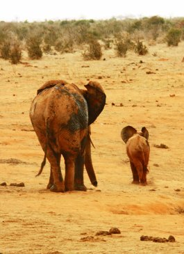 Mother and child elephant in Africa