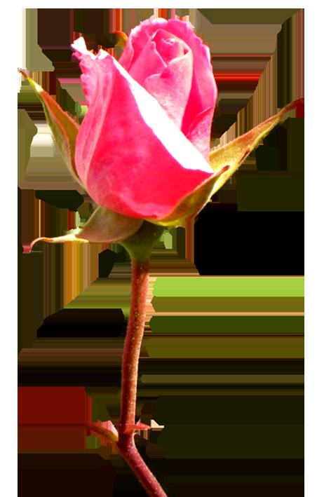 pink rose bud clip art