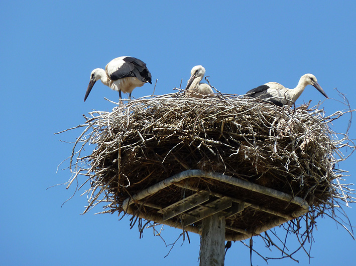 stork nest with young