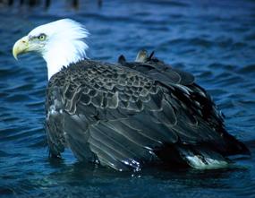 bald eagle bird in water