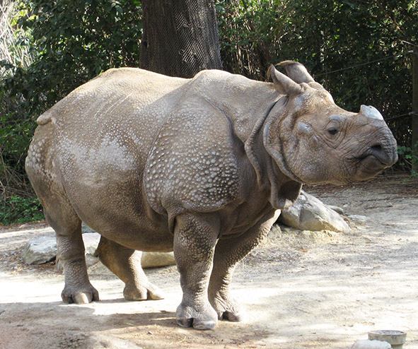 Indian rhinoceros with one horn
