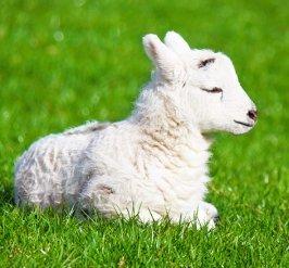 new born lamb in spring