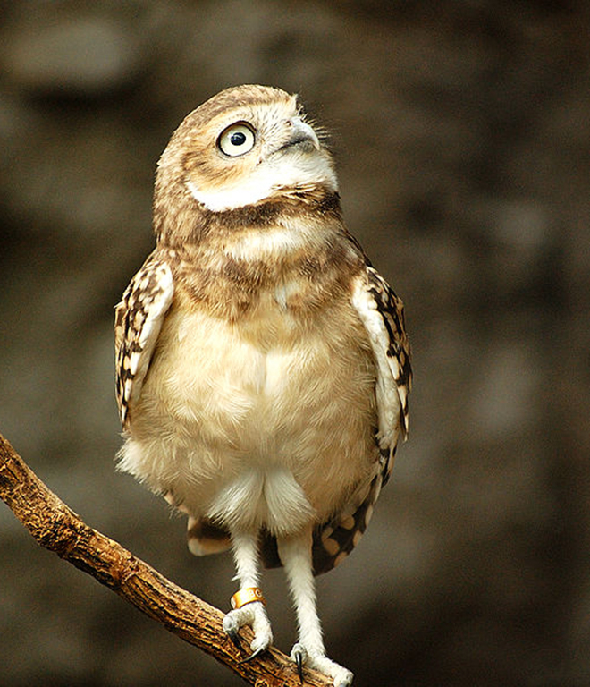 burrowing owl on branch