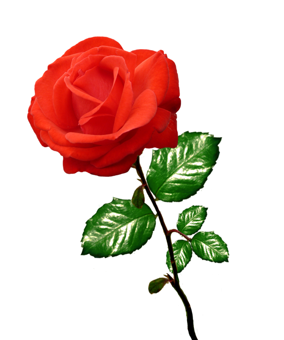 red rose clipart long stalk