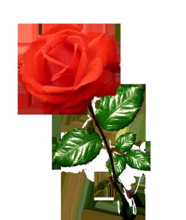 red rose clipart long stalk