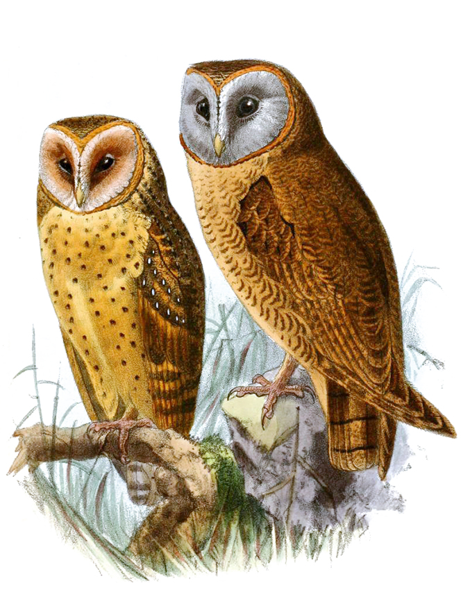 drawing of barn owl and ashy faced owl