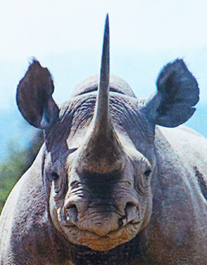 Head of black rhino