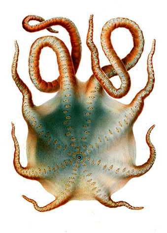 octopus-clipart-haliphron-atlanticus