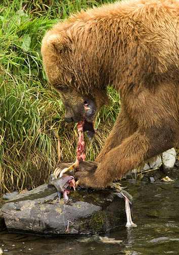 Brown bear in river eating salmon