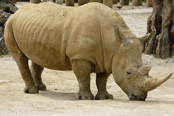 White African rhinoceros grazzing